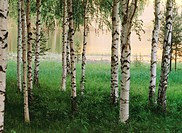 Birch trees on the shore of the Pite River. Vidsel. Norrbotten. Sweden