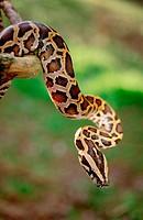 Indian python (Python molurus)