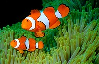 Clown Anemonefish (Amphiprion percula). Solomon islands