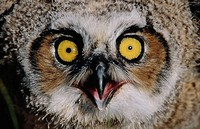 Close up of a great horned owl. California