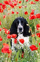 English Springer Spaniel. UK