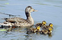 Mallard duck and ducklings in the ponds of the Fort Whyte Nature Center in Winnipeg. Canada