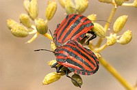 Shield Bug (Graphosoma lineatum)