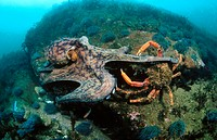 Common Octopus (Octopus vulgaris) and Spider Crab (Maja squinado)