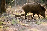 Wild boars (Sus scrofa). Bavarian Forest. Bavaria, Germany