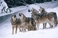 Wolves (Canis lupis). Bavarian Forest. Bavaria, Germany
