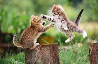 Domestic cats playing