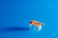 Fruit Fly (Drosophila melanogaster)