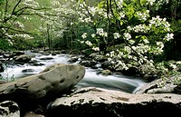 Dogwoods in Tremont Area (Cornus sp.). Great Smoky Mountains National Park. Tennessee, USA