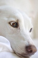 White dog´s face.