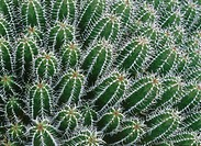 Cactus in botanical garden. Lanzarote. Canary Islands. Spain