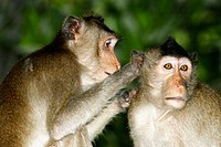 he Long-tailed Macaques (Macaca fascicularis), also called crab-eating monkeys or crab-eating macaques, cleaning each other for ticks and lice in the ...
