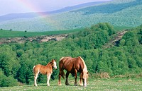 Mare and foal, rainbow. Irati forest. Navarre. Spain