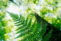 Fern (Aspidium vulgaris). Bavarian Forest National Park (Nationalpark Bayrischer Wald).  Bavaria. Germany