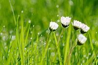 Daisies (Bellis perennis) in a meadow. Bavaria. Germany