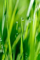 Grasses after spring rain. Bavaria. Germany