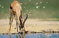 Springbok (Antidorcas marsupialis), drinking at waterhole with butterflies. Kgalagadi Transfrontier Park, Kalahari, South Africa