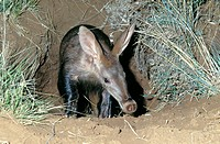 Aardvark (Orycteropus afer), emerging from burrow at dusk. Tussen-die-Riviere Nature Reserve, Free State. South Africa