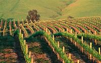 Vineyard at sunset. Napa Valley, California. USA.