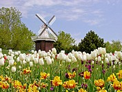 Holland, Michigan. USA. Windmill and Tulip Flowers