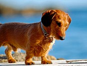 Small dog. Costa Brava near Barcelona. Spain