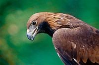 Golden Eagle (Aquila chrysaetos). Västerbotten, Sweden