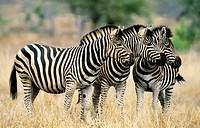 Burchell´s Zebra (Equus burchelli). Kruger National Park, South Africa.
