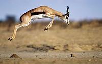 Springbok. Kgalagadi Transfrontier Park, Kalahari. Northern Cape, South Africa.