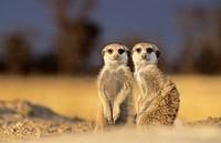 Meerkat or suricate (Suricata suricatta). Kgalagadi Transfrontier Park, Kalahari. South Africa.