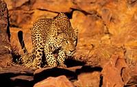 Leopard (Panthera pardus) hunting. Okonjima, Namibia