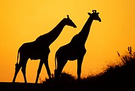 Giraffe (Giraffa camelopardalis) at dusk. Kruger National Park, South Africa