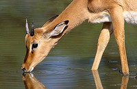Impala (Aepyceros melampus) Kruger National Park, South Africa