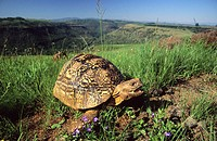 Leopard tortoise (Geochelone pardalis). Umgeni Valley Reserve, Kwa-ZuluNatal. South Africa.