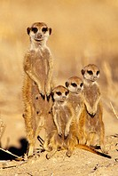 Meerkat or suricate (Suricata suricatta) family group. Kgalagadi Transfrontier Park, Kalahari. South Africa.