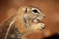 Ground Squirrel (Xerus inaurus). Kgalagadi Transfrontier Park, Kalahari. South Africa.