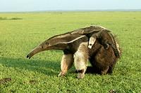 Giant Anteater (Myrmecophaga tridactyla). Venezuela