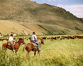 Cowboys on cattle roundup. Yp Ranch. Elko County. Nevada. USA.