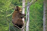 European Brown Bear (Ursus arctos). Climbing a Tree