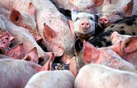 Piglets. Eating