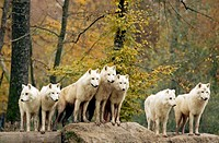 Arctic or Canadian wolves in autumn, Canis lupus, in a park in North-East France. Captive.