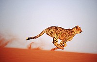 Cheetah running (Acinonyx jubatus) in captivity. Game Farm. Namibia.