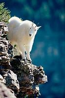 Mountain Goat (Oreamnos americanus) yearling in Logan Pass, Glacier National Park. Montana. USA