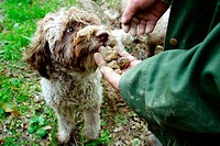 Truffle dog. San Giovanni d´Asso. Siena province, Tuscany, Italy