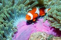 False clown anemonefish (Amphiprion ocellaris) in Sea Anemone. Similan Islands. Andaman Sea. Thailand. Indian Ocean