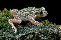 Iberian Midwife Toad (Alytes cisternasii)