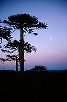 Araucarias (Araucaria Araucana). Nahuel Buta National Park. Chile.