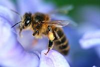 Primer plano de una abeja en una flor.