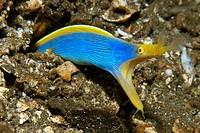 Ribbon eel (Rhinomuraena quaesita). Atlantis house reef, Dumaguete. Negros Island, Philippines