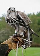 Saker Hawk Falco Cherrug on the gloved hand of falconer, endangered species.