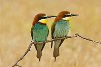 Bee-eaters (Merops apiaster), couple perched on branch